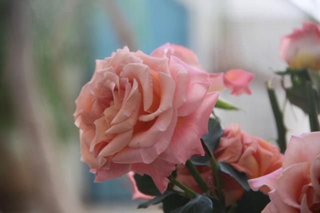 rose marocaine